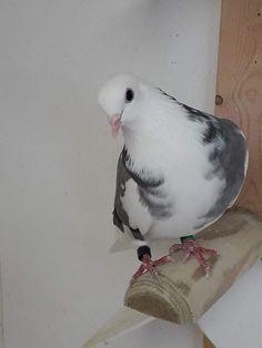 Pigeon, Birmingham, Hero, Animals, Animales, Animaux, Animal, Animais