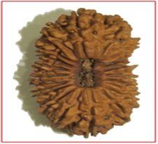 Buy original 21 mukhi rudraksha, price of 21 Mukhi Rudraksha, benifits of 21 mukhi rudraksha, 21 mukhi rudraksha in delhi india