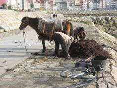 Recogiendo algas en La Guardia (Pontevedra) Camel, Horses, Animals, Seaweed, Updos, Animales, Animaux, Horse, Animal Memes