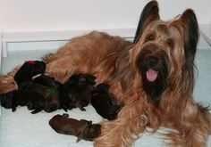 Briard Breeder - A place where Briard puppies live