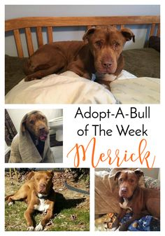 Adopt-A-Bull of The Week – Merrick in New York…