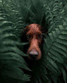 Troja loves exploring the Norwegian wilderness! 🐕 Photos by Explore. Dog Photoshoot, Animals Beautiful, Cute Animals, Irish Setter, Animal Wallpaper, Secret Life, Belle Photo, Animal Photography, Photography Photos