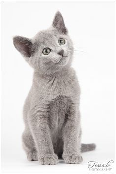 ** CAT SNIP: Bright green, almond shaped eyes, medium blue coats, tipped in silver, and small feet distinquish the Russian Blue.