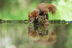 Duett by Julian Rad - Photo 158313781 - 500px.  #reflections #water #reflection #animal #cute #lovely #canon #funny #wildlife #squirrel #wild #sweet #nice #drinking #living #redsquirrel #eichhörnchen #julianrad