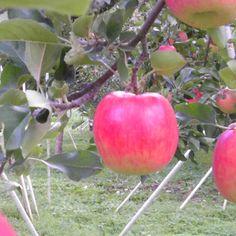 Akagi apple  on my daily life and tagged Akagi, apple, apple farm, apple picking, autumn, fall, Gunma, japan, matchaatnoon, on my daily life, travel