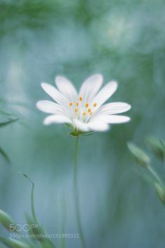 Stellaria by elena_ntv #nature #photooftheday #amazing #picoftheday