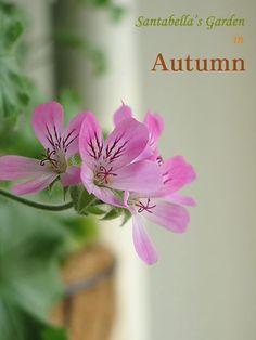제라늄 키우기 방법 A to Z - <3> 수형잡기(순따기, 가지치기) & 번식방법 : 네이버 블로그 Pink Flowers, Autumn, Garden, Plants, Fall, Garten, Flora, Plant, Lawn And Garden