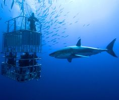 Cage Dive With Great White Sharks