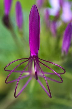 Purple spider flower (Cleome) about to open...