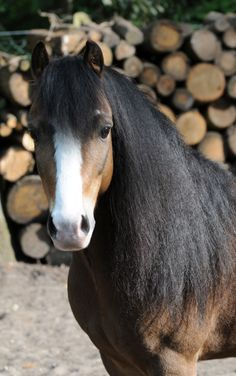 Romeo, a strikingly beautiful Welsh Pony - Clemence Faivre