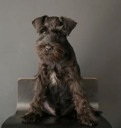 Portrait of a Lord by The Wonderer #Miniature #Schnauzer