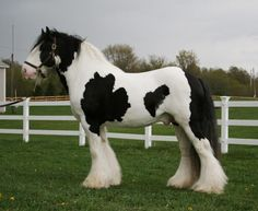 Gypsy Horse / Tinker - stallion Dreammaker