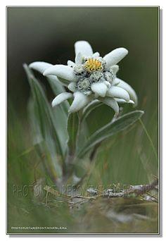 edelweiss à Pralognan la Vanoise