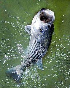 GoAltaCA | March 25 Fish Finder Report on Northern California