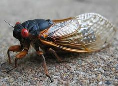 Q: Can these cicadas hurt me?  A: No. Cicadas don't bite or sting defensively, and they are not toxic or poisonous. But they can make you do a hilarious freak-out dance if they crawl up your neck.