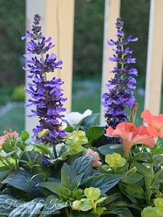 Purple-blue salvia with coral petunias