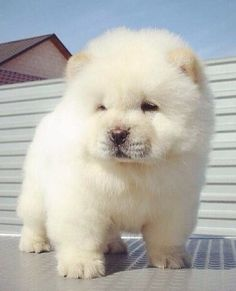 920 Best Chow Chows Are The Best Images On Pinterest In 2019