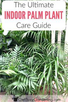 Palm Plant Care, Palm Tree Care, Palm Tree Plant, Palm Plants, Trees To Plant, Tropical Plants, Areca Palm Care, Potted Plants, Palm House Plants