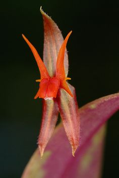 Miniature-Orchid: Lepanthes nautica - Flickr - Photo Sharing!