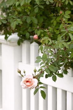 pink rose on a white picket fence
