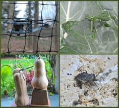 fall pest patrol: work now to foil deer, cabbage worms, viburnum beetle, squash bugs, voles