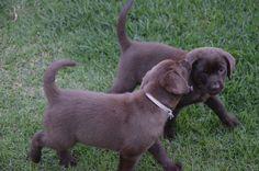 Blah,blah,blah,blah Labrador Puppies, Dogs And Puppies, Labrador Retriever, Chocolate Labs, Dog Lovers, Cute Animals, Ideas, Labrador Retrievers, Pretty Animals