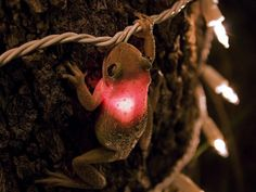 tree frog eating a christmas light