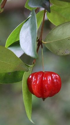 Pitanga, Suriname Cherry, Brazilian Cherry (Eugenia uniflora) Native to tropical South America's east coast. Fruit Flowers, Fruit Plants, Fruit Trees, Fruit And Veg, Fruits And Vegetables, Fresh Fruit, Colorful Fruit, Tropical Fruits, Weird Fruit