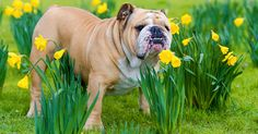 9 Things You Should Never Have in Your Garden If You Are An Animal Lover, And 3 Things You Should! Read more at http://blog.theanimalrescuesite.com/pet-garden-threats/#Mwfd2ILbbx7UvJWA.99  Flower-daffodil-shutterstock_134714882