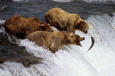 GRIZZLY BEARS alaska POSTER chasing fish WATERFALL big bite brown FUR 24X36 Brand New. 24x36 inches. Will ship in a tube. - Multiple item purchases are combined the next day and get a discount for dom