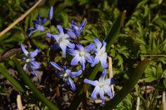 Kevättähtiä puutarhassa