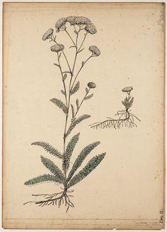 Achillea millefolium volgens Bonnier Achillea Millefolium, Leaf Tattoos, Flowers, Royal Icing Flowers, Flower, Florals, Bloemen, Blossoms