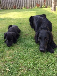 Flat Coated Retriever & Pup~ Classic Look & Trim ~ Mitzi en Zaza