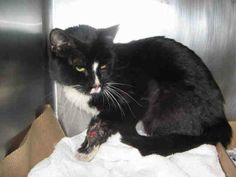 TO BE DESTROYED 5/9/14 ** Powers is such a sweetheart! He came in with an injured leg, and possibly has a fracture, but he acts like nothing happened! He is still super playful and really loves his head rubs! Please go online to reserve this amazing kitty tonight! ** Manhattan Center  My name is POWERS. My Animal ID # is A0998512. I am a male black and white domestic sh mix. The shelter thinks I am about 4 YEARS old.  I came in the shelter as a STRAY on 05/02/2014 from NY 10454, owner…