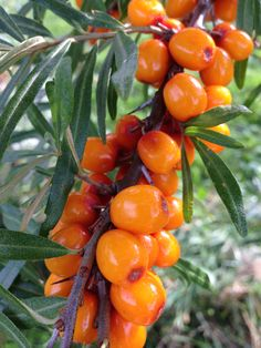 Sea-Buckthorn Berry Juice: Health Benefits & Nutritional Value Berry Juice, Fruit Juice, Sea Berries, Fruit Orange, Nutritional Value, Plantation, Home Recipes, Smoothies, Stuffed Peppers