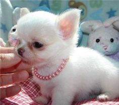 Inside this CHIHUAHUA PUPPIES gallery album you can enjoy large number pictures that you can talk about, rate/comment upon. Post + talk about your Chihuahua Puppies pics and ask questions for advice & even instructions. Chihuahua Puppies For Sale, Chihuahua Love, Cute Puppies, Cute Dogs, Dogs And Puppies, Apple Head Chihuahua, Cavapoo Puppies, Puppies Puppies, Teacup Puppies