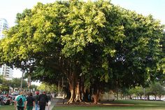 sHE loves banyan trees - these are in downtown St. Petersburg, Straub Park, near the pier.