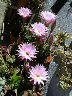 Terra Nostra: OMBLIGO DE LA REINA - Echinopsis eyriesii