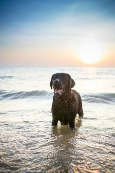 old dogs, chocolate labs, beach babies, baby dogs, labrador retrievers, friend, black labs, swimmer
