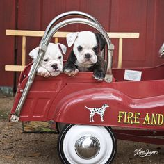newly obsessed with bulldogs.