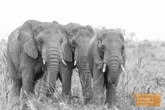 Three's a Crowd...of Elephants in South Africa