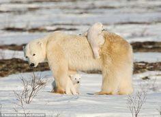 Polar Bears/Happy family/Happy Mother's Day!