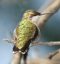 During August, Leaming's Run Gardens becomes a mecca for ruby-throated hummingbirds who come to feed before they migrate south on their long annual journey. Hummingbirds sometimes stay until mid-September.   http://leamingsrungardens.com/Hummingbirds.asp    1845 Route 9 North             Cape May Court House, NJ   (609) 465-5871
