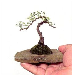 "Miniature Bonsai by Gilbert Cantu    Artemisia Southernwood grown in a hollowed out flagstone shaped in the ""Literati"" or ""Bunjin"" style."