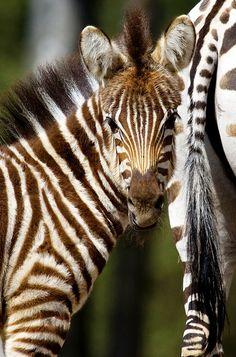 zebra young