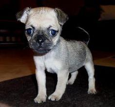 Pug and Miniature Pinscher Muggin