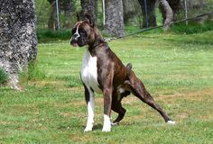 All About The Patient Boxer Pups Temperament Boxer Dog Puppy, Boxer Mom, Dog Cat, Dog Anatomy, Companion Dog, Dogs And Puppies, Doggies, Dog Fighting, Beautiful Dogs