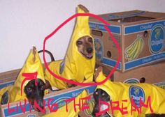 This moment is different for everyone. When all the other dogs around you are miserable, you may just discover that your purpose in life has always been to be a banana. | 21 Dogs That Have Realized Their Life's Purpose