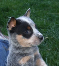 blue heeler puppy raised as cattle dogs rule!  call for puppies anytime 775-800-3170 #blueheeler #cattle dog
