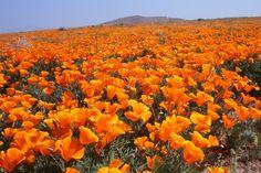 Poppy Fields at Antelope Valley
